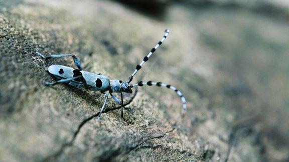 Ein blauer Käfer auf einem Stein