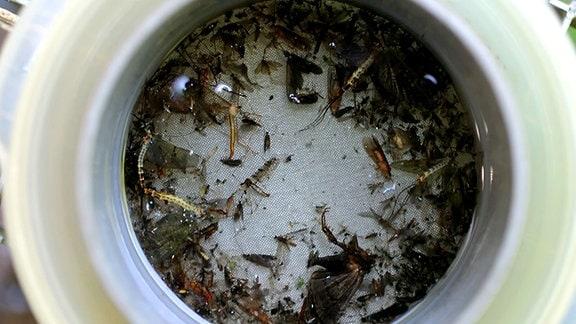 In einem Gefäß befinden sich zahlreiche Insekten
