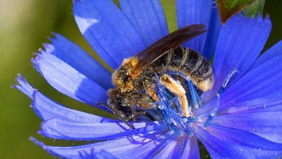 Sechsbindige Furchenbiene auf Blüte einer Wegwarte