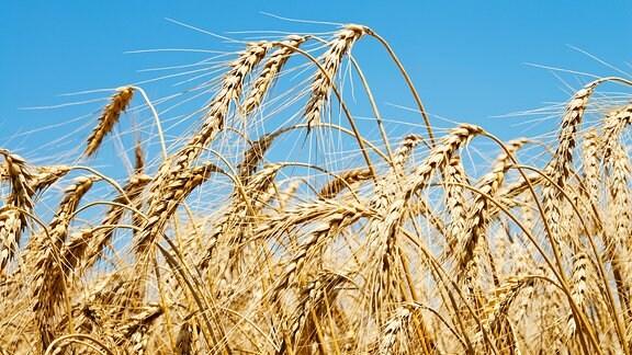Ähren auf einem Weizenfeld vor blauem Himmel