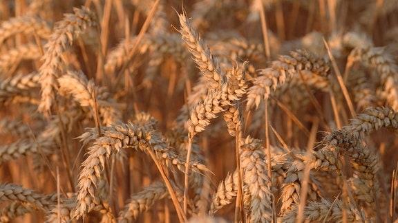 Auf einem Feld bei Abbendrode im Landkreis Harz im Bundesland Sachsen-Anhalt, mäht ein Mähdrescher der Marke Claas mit Kettenantrieb die Feldfrucht Weizen.
