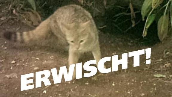 Schriftzug 'Erwischt!' über Schnappschuß einer Wildkatze