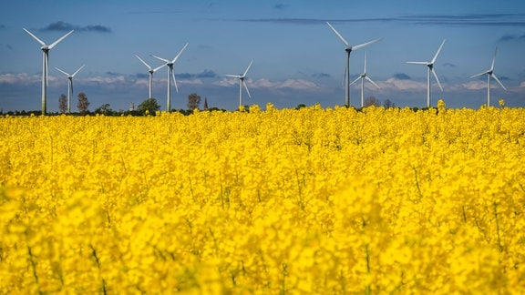Rapsfeld vor Windpark