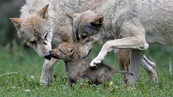 Timberwölfe (Canis lupus lycaon) mit Welpen