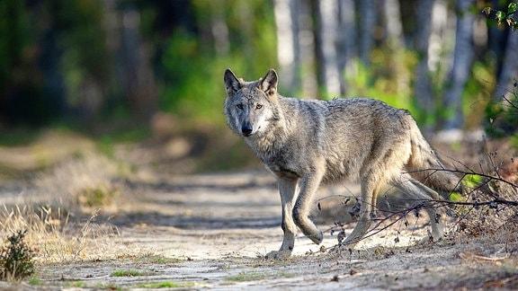 Wolf auf einem Weg