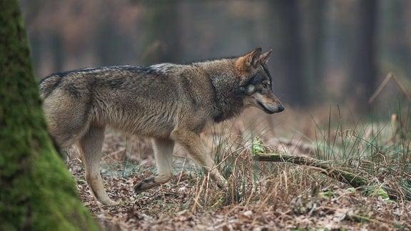 Ein Wolf steht in einem Wald.