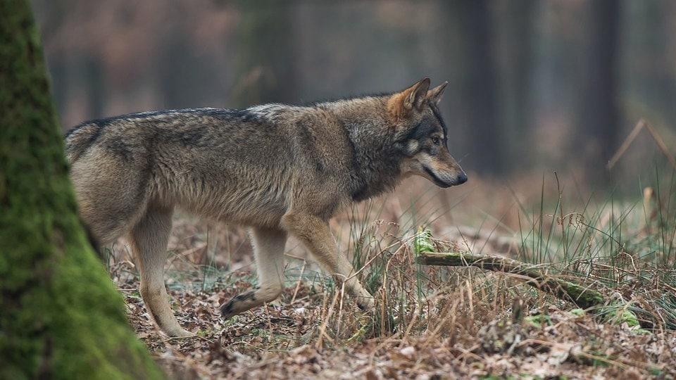 Thüringen: Wolf tötet Schafe - Petition gegen Abschuss | MDR.DE