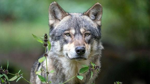 Porträt eines Wolfs mit erhabendem, freundlichen Blick. Große Ähnölichkeit zu Schäferhund oder Husky, grau-braunes Fell. Unten etwas grüne Bläter, Hintergrund unscharf Natur.