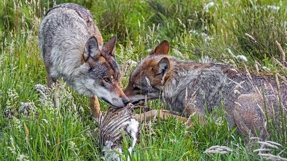 Zwei graue Wolfe fressen an einem Schafskadaver in hohen, grünen Gräsern. Man sieht die Rippen des toten Tiers.