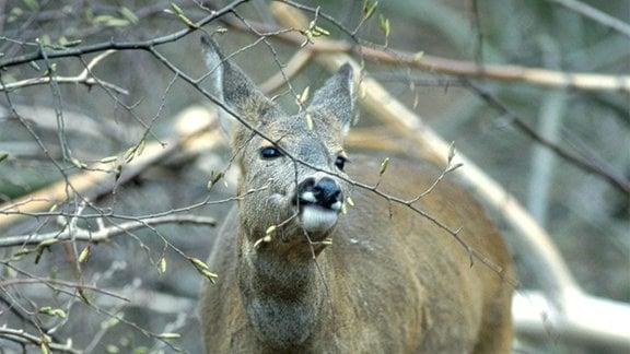 Reh frisst an einem dünnen Zweig mit Knospen an einem Busch oder Baum im kargen Wald. Ansicht von vorn.