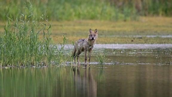 Ein neugieriger Grauwolf sucht an einem Seeufer nach Futter.
