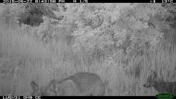Wolfsfoto aus Fotofalle