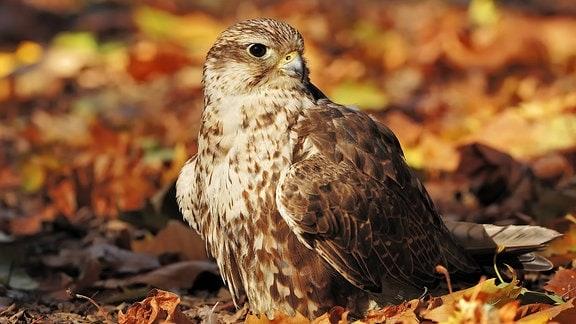 Würgfalke: Großer Vogel mit braun-weißem Gefieder, kleinem spitzen Schnabel und schwarzen Augen sitzt im bunten Herbstlaub (Hintergrund unscharf)