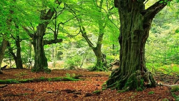 Wald mit knorrigen alten moosbedeckten Hainbuchen