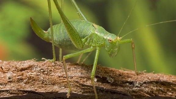 Punktierte Zartschrecke (Leptophyes punctatissima), Weibchen sitzt auf einem Ast