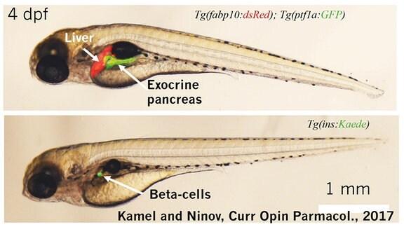 Zwei Larven eines Zebrafischs: Transparenter Larven-Körper mit dunklem Kopf und dunklen Organen sowie bereits sichtbaren Gräten. Leber und Bauchspeicheldrüse sind hervorgehoben.