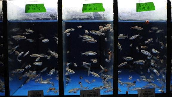 Zebrafische
