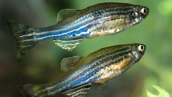 Zebrafische im Wasser: Kleine Fische mit markanten schwarz-weißen Längsstreifen vor Hintergrund mit (teils unscharfen) grünen Wasserpflanzen.