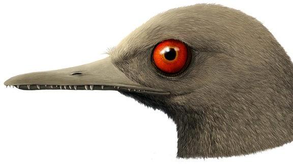 Zeichnung Schädel Urkolibri - kleinster Flugsaurier