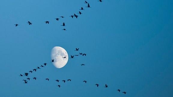Zugvögel fliegen vor dem Mond am Himmel entlang.
