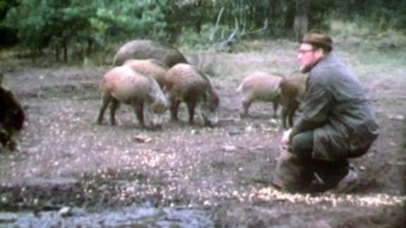 Meynhardt füttert Schweine