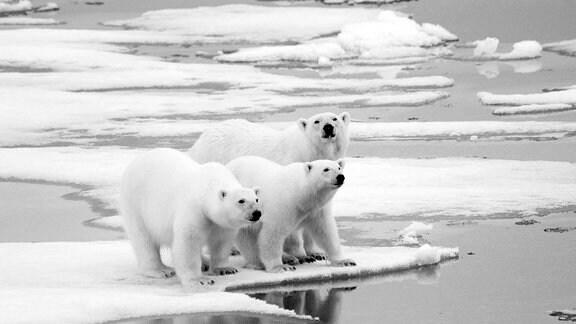 Eisbären auf einer Scholle im Rijpfjord der Insel Nordostland Spitzbergen