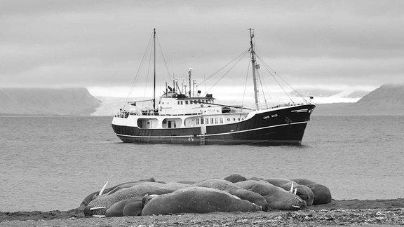 Schiff und Walrösser in der Phippsøya-Bucht von Nordostland