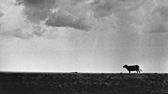 Silhouette einer Kuh auf einem Feld